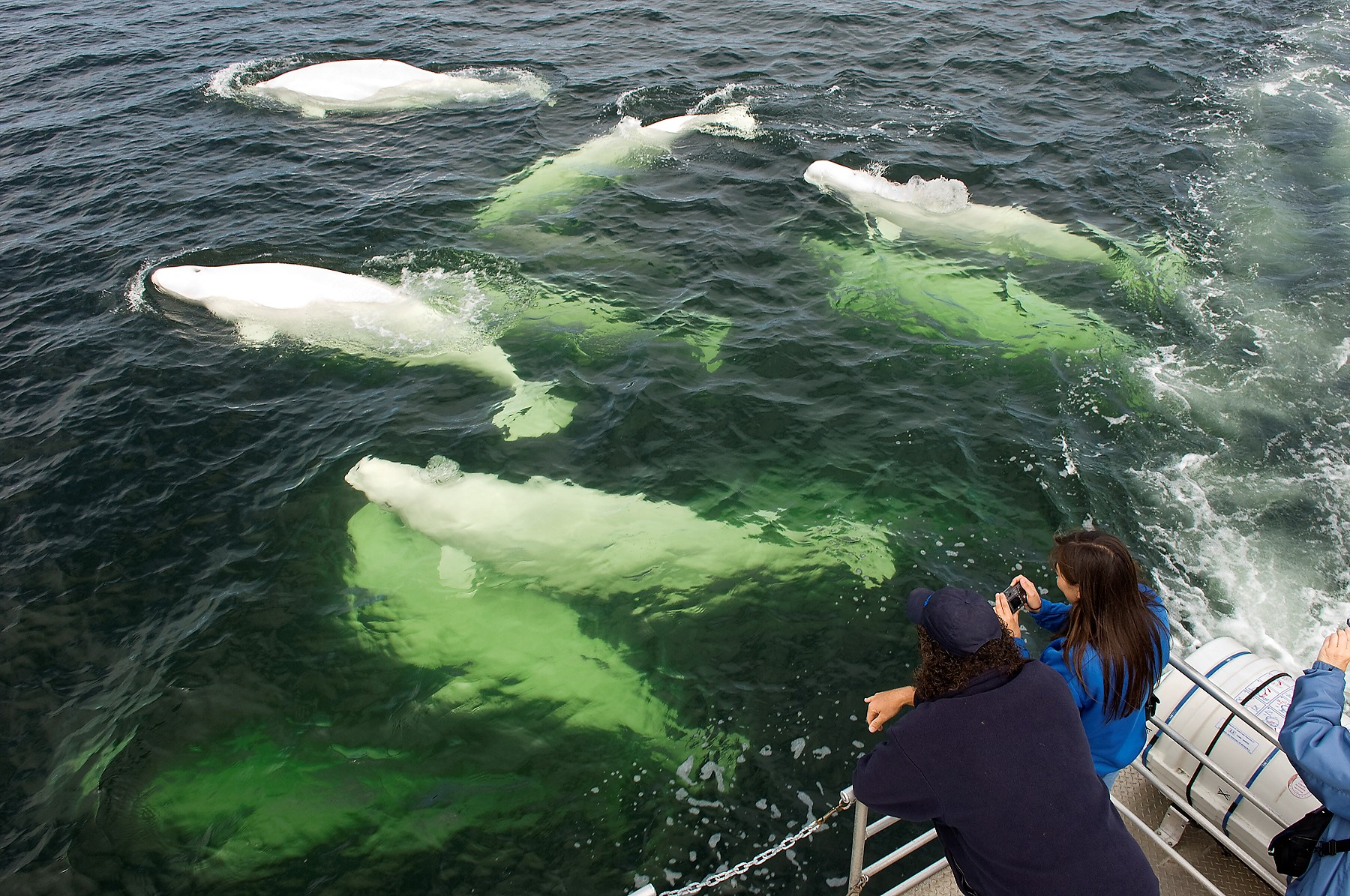Photo of Beluga Whales